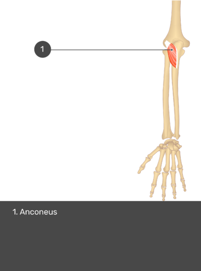 A test yourself image of the dorsal view of the forearm showing the bony elements and the isolated Anconeus muscle numbered 1.