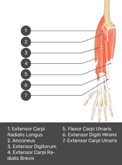 A test yourself image of the dorsal view of the forearm showing the bony elements and the deeper muscles. The visible muscles of the forearm are numbered 1-7. The answers in the box below are as follows 1. Extensor Carpi Radialis Longus 2. Anconeus 3. Extensor Digitorum 4. Extensor Carpi Radialis Brevis 5. Flexor Carpi Ulnaris 6. Extensor Digiti Minimi 7. Extensor Carpi Ulnaris.