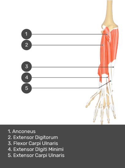 A test yourself image of the dorsal view of the forearm showing the bony elements and the deeper muscles. The visible muscles of the forearm are numbered 1-5. The answers in the box below are as follows 1. Anconeus 2. Extensor Digitorum 3. Flexor Carpi Ulnaris 4. Extensor Digiti Minimi 5. Extensor Carpi Ulnaris.