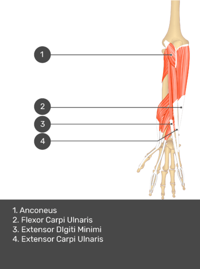 A test yourself image of the dorsal view of the forearm showing the bony elements and the deeper muscles. The visible muscles of the forearm are numbered 1-4. The answers in the box below are as follows 1. Anconeus 2. Flexor Carpi Ulnaris 3. Extensor Digiti Minimi 4. Extensor Carpi Ulnaris.