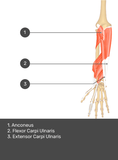 A test yourself image of the dorsal view of the forearm showing the bony elements and the deeper muscles. The visible muscles of the forearm are numbered 1-3. The answers in the box below are as follows 1. Anconeus 2. Flexor Carpi Ulnaris 3. Extensor Carpi Ulnaris.