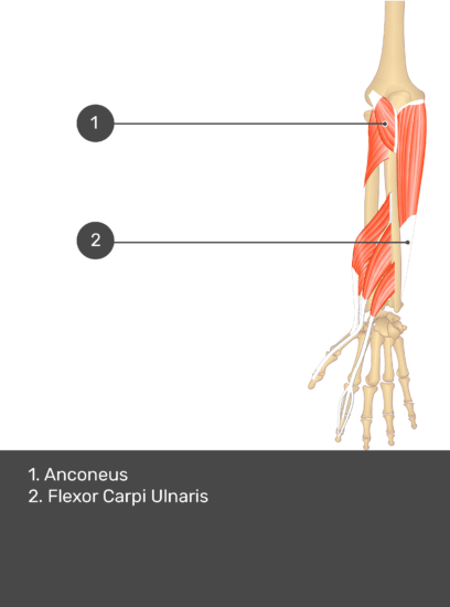 A test yourself image of the dorsal view of the forearm showing the bony elements and the deeper muscles. The visible muscles of the forearm are numbered 1-2. The answers in the box below are as follows 1. Anconeus 2. Flexor Carpi Ulnaris.