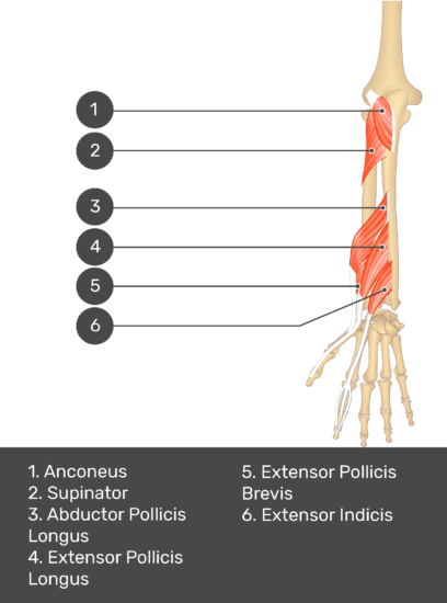 A test yourself image of the dorsal view of the forearm showing the bony elements and the deeper muscles. The visible muscles of the forearm are numbered 1-6. The answers in the box below are as follows 1. Anconeus 2. Supinator 3. Abductor Pollicis Longus 4. Extensor Pollicis Longus 5. Extensor Pollicis Brevis 6. Extensor Indicis.