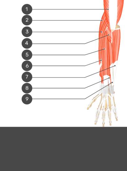 A test yourself image of the dorsal view of the forearm showing the bony elements and the deeper muscles. The visible muscles of the forearm are numbered 1-9 and the answers in the box below are concealed.