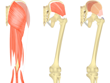 Gluteus medius feature image showing three images of the posterior thigh and gluteal region.