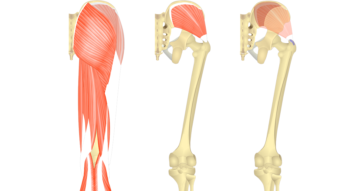 Gluteus Medius - Attachments, Actions & Innervation