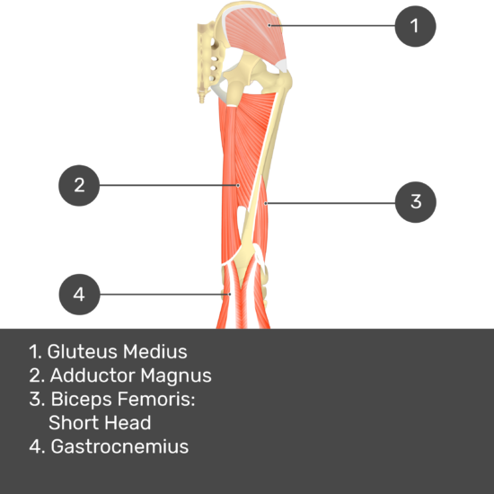 Test yourself image 10, posterior view of thigh and gluteal region. Muscles and structures labelled- gluteus medius, adductor magnus, biceps femoris: short head, gastrocnemius.