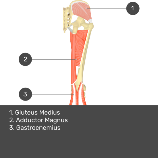 Test yourself image 11, posterior view of thigh and gluteal region. Muscles and structures labelled- gluteus medius, adductor magnus, gastrocnemius.