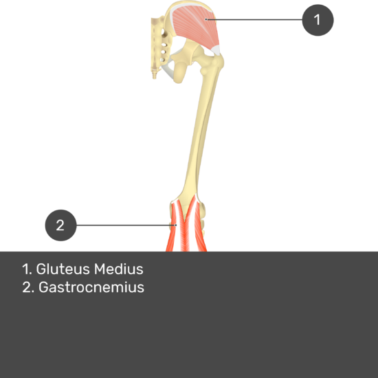 Test yourself image 12, posterior view of thigh and gluteal region. Muscles and structures labelled- gluteus medius, gastrocnemius.