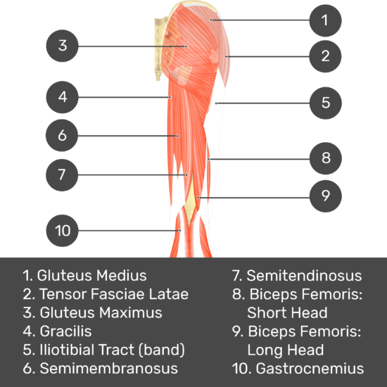 Test yourself image 3, posterior view of thigh and gluteal region, lateral rotators of the thigh visible. Muscles and structures labelled- gluteus medius, tensor fasciae latae, gluteus maximus, gracilis, iliotibial tract (band), semimembranosus, semitendinosus, biceps femoris: short head, biceps femoris: long head, gastrocnemius.