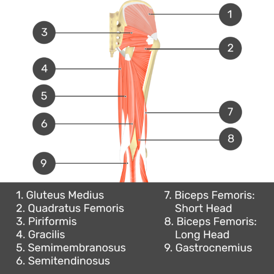 Test yourself image 5, posterior view of thigh and gluteal region, lateral rotators of the thigh visible. Muscles and structures labelled- gluteus medius, piriformis, quadratus femoris, gracilis, semimembranosus, semitendinosus, biceps femoris: short head, biceps femoris: long head, gastrocnemius.