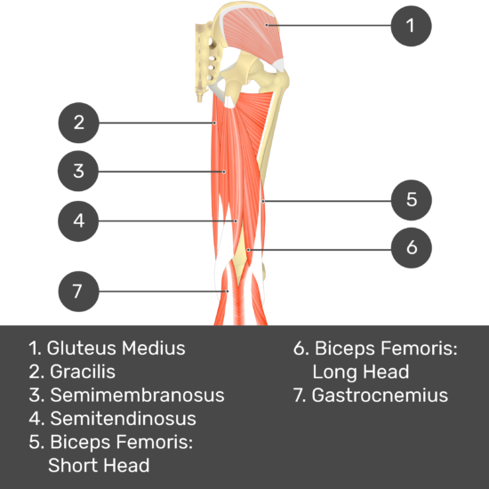 Test yourself image 6, posterior view of thigh and gluteal region. Muscles and structures labelled- gluteus medius, gracilis, semimembranosus, semitendinosus, biceps femoris: short head, biceps femoris: long head, gastrocnemius.