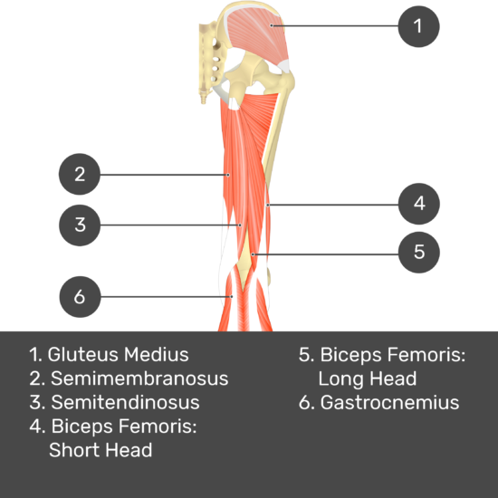 Test yourself image 7, posterior view of thigh and gluteal region. Muscles and structures labelled- gluteus medius, semimembranosus, semitendinosus, biceps femoris: short head, biceps femoris: long head, gastrocnemius.