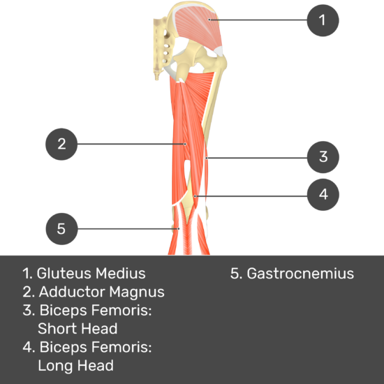 Test yourself image 9, posterior view of thigh and gluteal region. Muscles and structures labelled- gluteus medius, adductor magnus, biceps femoris: short head, biceps femoris: long head, gastrocnemius.