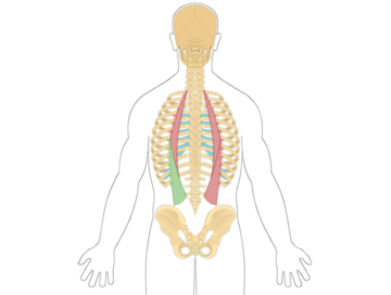Featured image with the iliocostalis lumborum highlighted in green