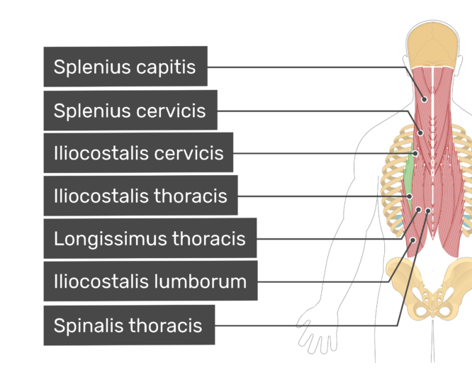 Labelled image of the splenius capitis, splenius cervicis, iliocostalis cervicis, iliocostalis thoracis, longissimus thoracis, iliocostalis lumborum, and spinalis thoracis muscles
