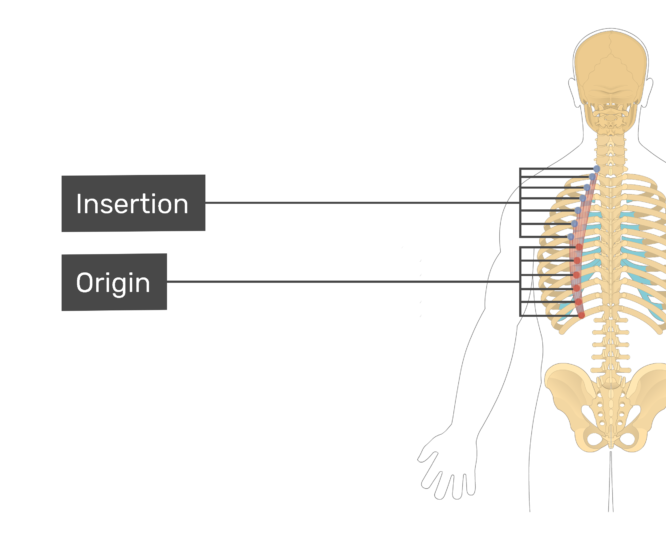 Labelled image of the insertion and origin of the iliocostalis thoracis muscle
