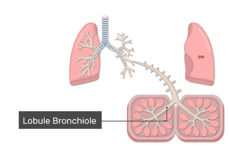 Lobular bronchioles of the lungs