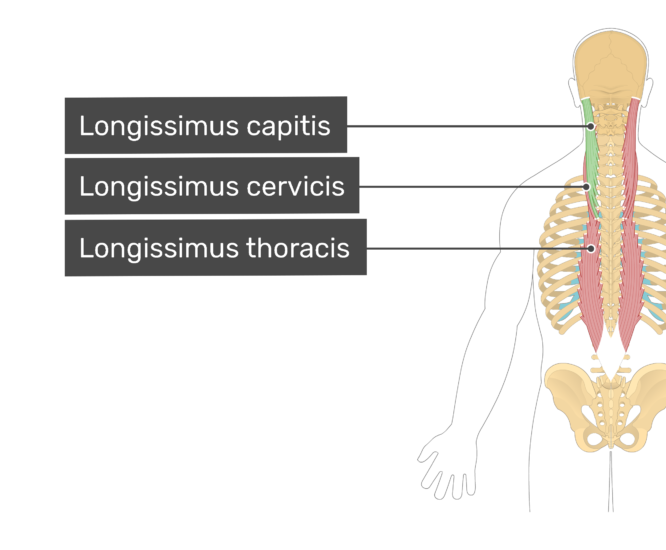 Labelled image of the longissimus capitis, longissimus cervicis, and longissimus thoracis