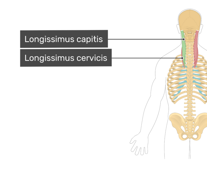 Labelled image of the longissimus capitis, and longissimus cervicis