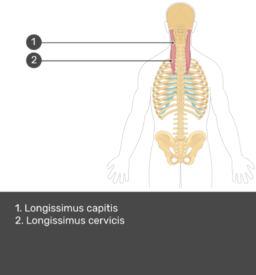 Test yourself image showing answers: longissimus capitis, and longissimus cervicis muscles