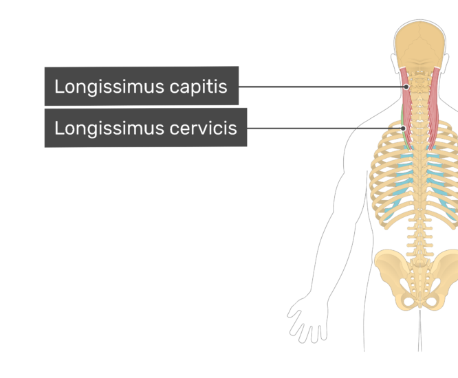 Labelled image of the longissimus capitis, and longissimus cervicis mucles