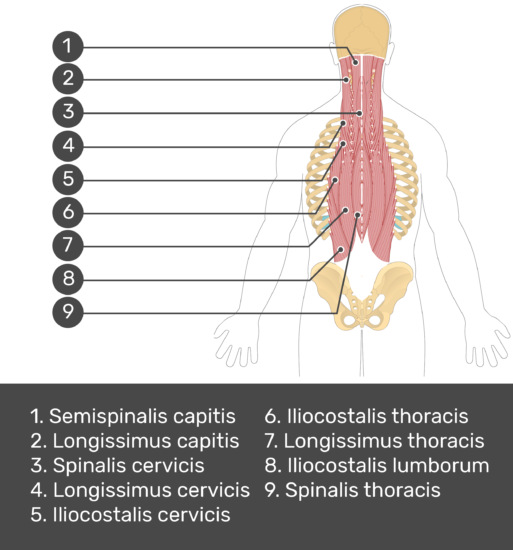 Test yourself image showing answers: semispinalis capitis, longissimus capitis, spinalis cervicis, longissimus cervicis, iliocostalis cervicis,