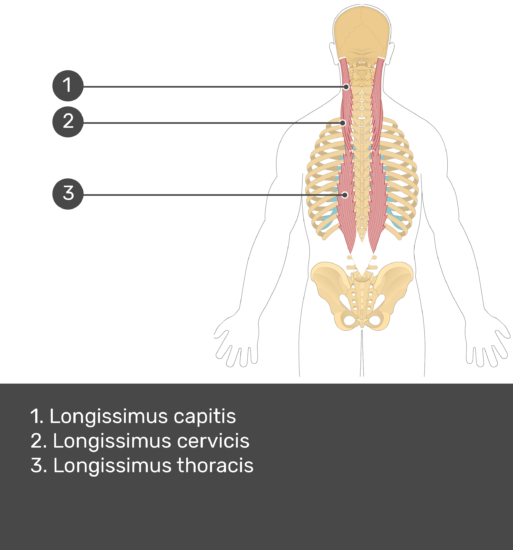 Test yourself image showing answers: longissimus capitis, longissimus cervicis, and longissimus thoracis