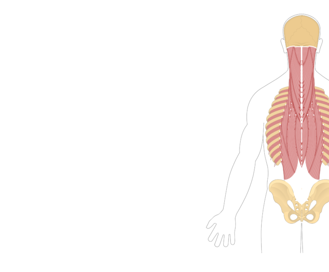 Unlabelled image of the muscles of the back