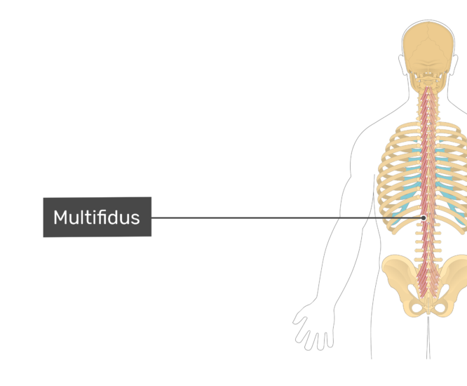 Labelled image of the multifidus muscle.