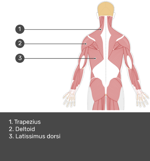 Test yourself image showing answers: trapezius, deltoid, latissimus dorsi