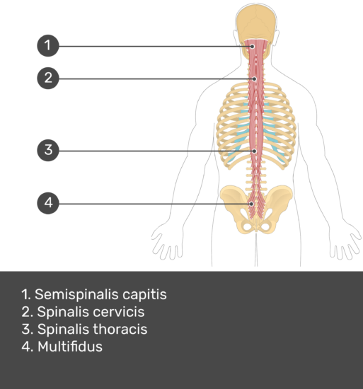 Test yourself image showing answers: semispinalis capitis, spinalis cervicis, spinalis thoracis, multifidus