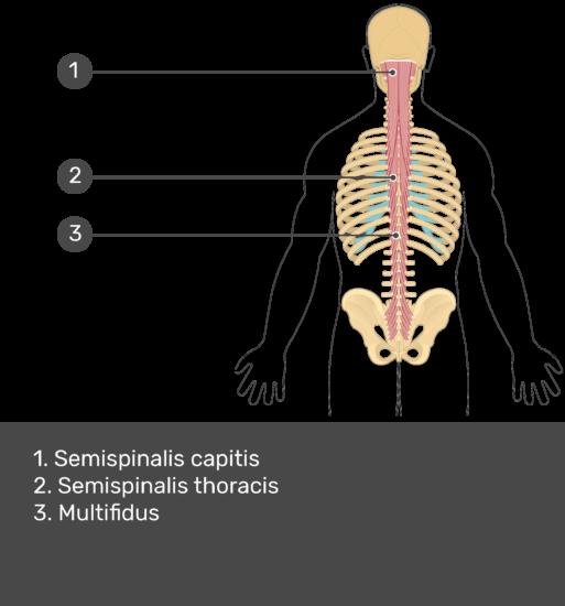 Test yourself image showing answers: Semispinalis capitis, semispinalis thoracis, multifidus