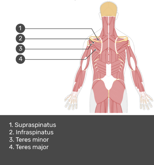 Test yourself image showing answers: supraspinatus, infraspinatus, teres minor, teres major