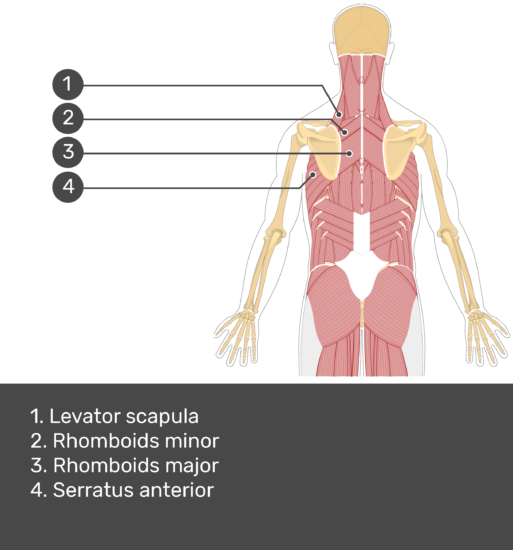 Test yourself image showing answers: levetor scapula, rhomboids minor, rhomboids major, serratus anterior