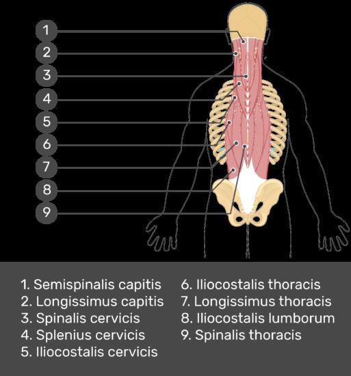 Test yourself image showing answers: semispinalis capitis, longissimus capitis, spinalis cervicis, splenius cervicis, iliocostalis cervicis, iliocostalis thoracis, longissimus thoracis, spinalis thoracis, iliocostalis lumborum