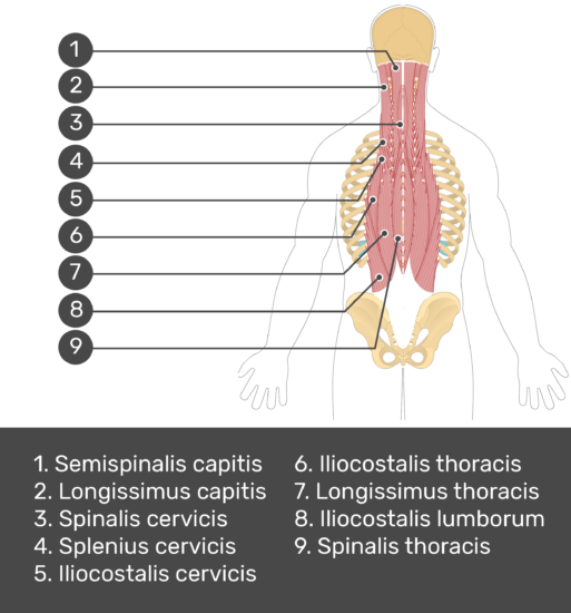 Test yourself image showing answers: semispinalis capitis, longissimus capitis, spinalis cervicis, longissimus cervicis, iliocostalis cervicis, iliocostalis thoracis, longissimus thoracis, spinalis thoracis, iliocostalis lumborum