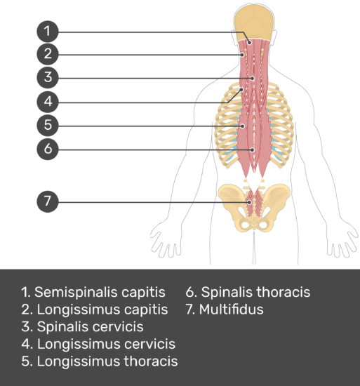 Test yourself image showing answers: Semispinalis capitis, longissimus capitis, spinalis cervicis, longissimus cervicis, longissimus thoracis, spinalis thoracis, multifidus