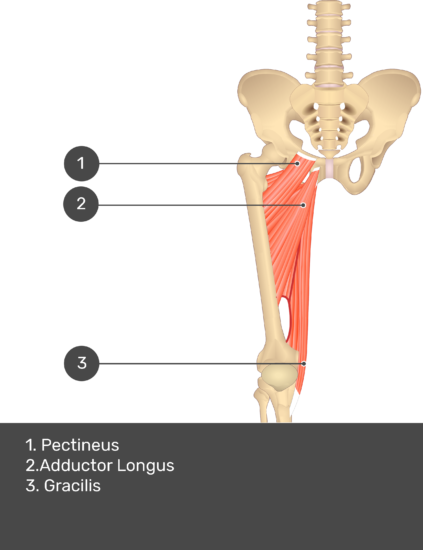 A quiz image of the anterior view of the thigh, pelvis and lower section of the vertebral column. The muscles of the anterior thigh are numbered 1 to 9. The answers revealed at the bottom are as follows 1. Pectineus 2. Adductor Longus 3. Gracilis.
