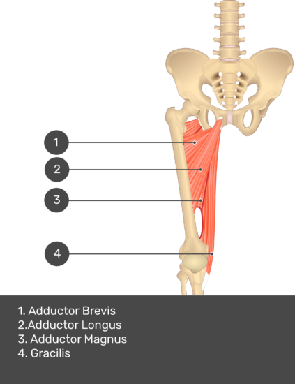 A quiz image of the anterior view of the thigh, pelvis and lower section of the vertebral column. The muscles of the anterior thigh are numbered 1 to 4. The answers revealed at the bottom are as follows 1. Adductor Brevis 2. Adductor Longus 3. Adductor Magnus 4. Gracilis.