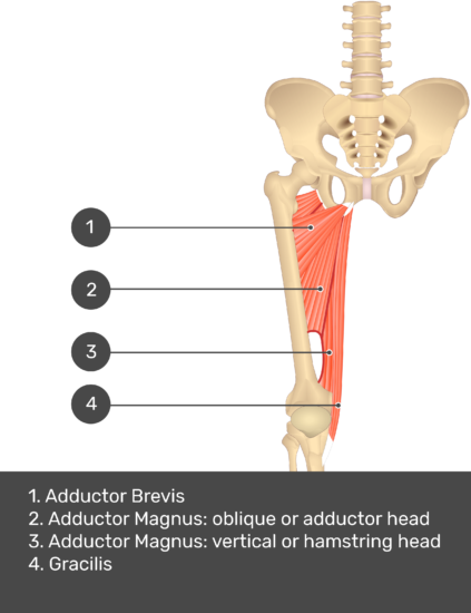 A quiz image of the anterior view of the thigh, pelvis and lower section of the vertebral column. The muscles of the anterior thigh are numbered 1 to 9. The answers revealed at the bottom are as follows 1. Adductor Longus 2. Adductor Magnus: oblique or adductor head 3. Adductor Magnus: vertical or hamstring head 4. Gracilis.