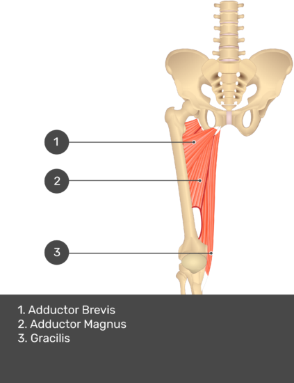 A quiz image of the anterior view of the thigh, pelvis and lower section of the vertebral column. The muscles of the anterior thigh are numbered 1 to 3. The answers revealed at the bottom are as follows 1. Adductor Longus 2. Adductor Magnus 3. Gracilis.