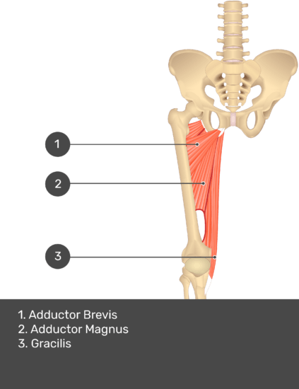 A quiz image of the anterior view of the thigh, pelvis and lower section of the vertebral column. The muscles of the anterior thigh are numbered 1 to 4. The answers revealed at the bottom are as follows 1. Adductor Brevis 2. Adductor Magnus 3. Gracilis.