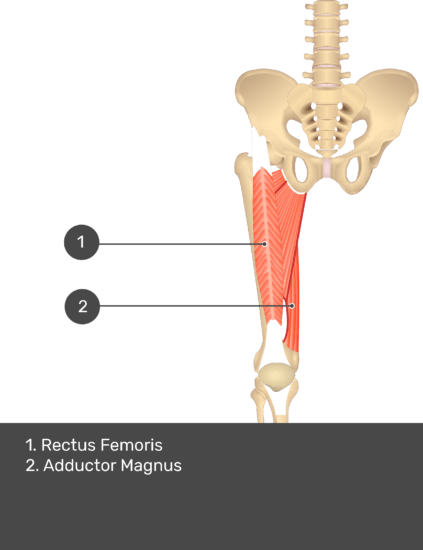 A quiz image of the anterior view of the thigh, pelvis and lower section of the vertebral column. The muscles of the anterior thigh are numbered 1 to 2. The answers revealed at the bottom are as follows 1. Rectus Femoris 2. Adductor Magnus.