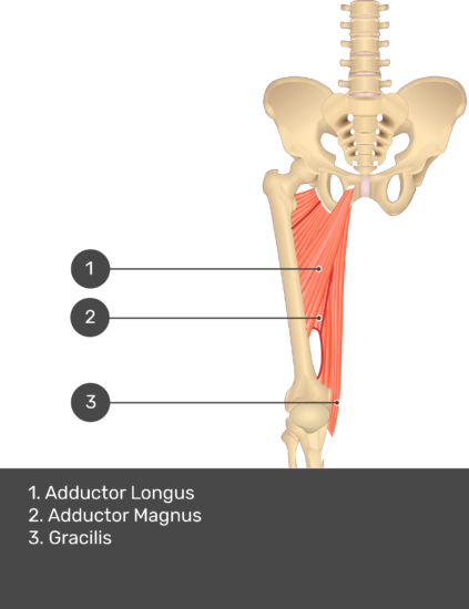 A quiz image of the anterior view of the thigh, pelvis and lower section of the vertebral column. The muscles of the anterior thigh are numbered 1 to 9. The answers revealed at the bottom are as follows 1. Adductor Longus 2. Adductor Magnus 3. Gracilis.