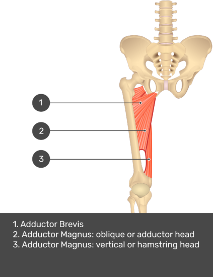 A quiz image of the anterior view of the thigh, pelvis and lower section of the vertebral column. The muscles of the anterior thigh are numbered 1 to 9. The answers revealed at the bottom are as follows 1. Adductor Longus 2. Adductor Magnus: oblique or adductor head 3. Adductor Magnus: vertical or hamstring head.