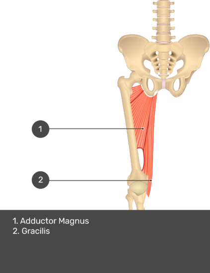A quiz image of the anterior view of the thigh, pelvis and lower section of the vertebral column. The muscles of the anterior thigh are numbered 1 to 2. The answers revealed at the bottom are as follows 1. Adductor Magnus 2. Gracilis.