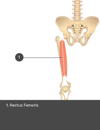 A quiz image of the anterior view of the thigh, pelvis and lower section of the vertebral column. The only muscle labelled 1 is Rectus Femoris.