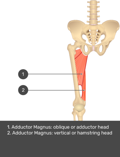 A quiz image of the anterior view of the thigh, pelvis and lower section of the vertebral column. The muscles of the anterior thigh are numbered 1 to 9. The answers revealed at the bottom are as follows 1. Adductor Magnus: oblique or adductor head 2. Adductor Magnus: vertical or hamstring head.
