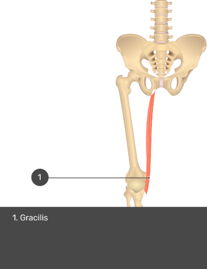 A quiz image of the anterior view of the thigh, pelvis and lower section of the vertebral column. The only muscle labelled 1 is Gracilis.